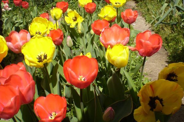 Tulpenprojekt der 6. Klassen
